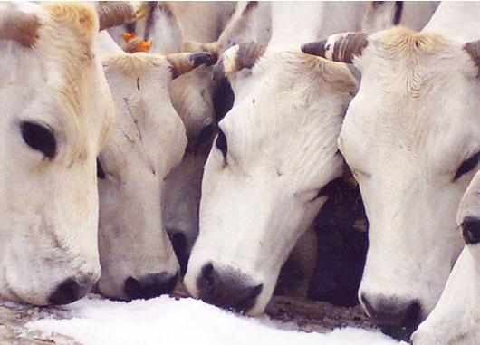 vacche razza piemontese