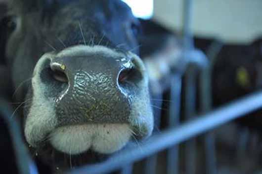Le-mucche-della-Val-Rendena-a-Srebrenica_large