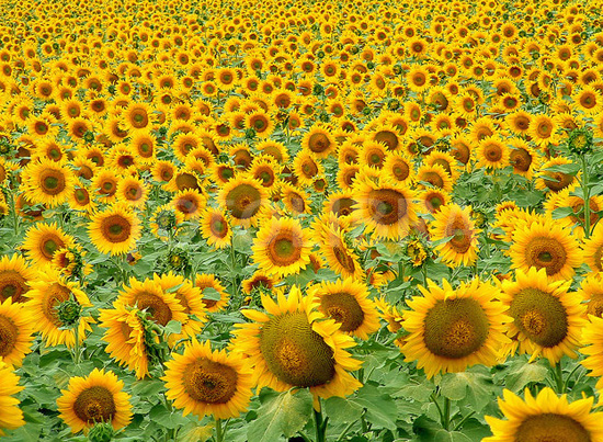 sunflowers in Gers region France Midi Pyr√n√es
